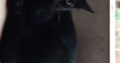 Gatinha preta desaparecida