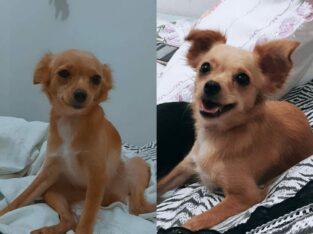 Cachorrinha perdida chamada Bella.