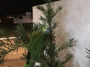 Papagaio perdido com anilha de identificação