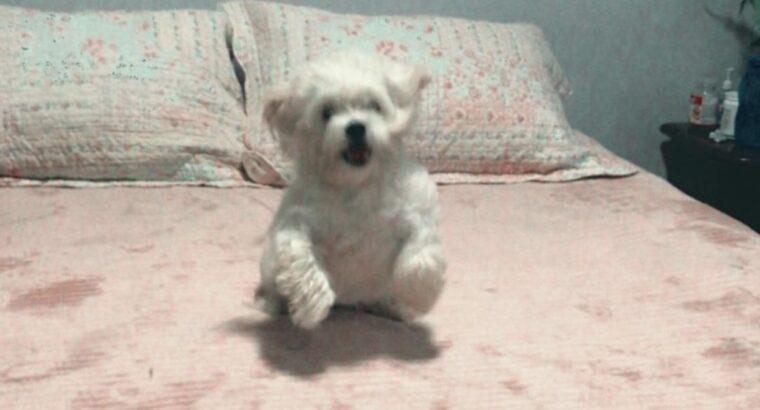 Meu cachorrinho poodle branco sumiu ele ta tosado