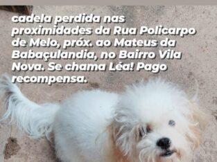 Poodle Branca Perdida
