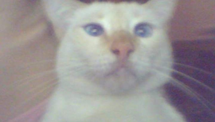 Gato branco adulto desaparecido
