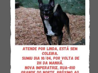 Cachorra perdida. Atende por Linda