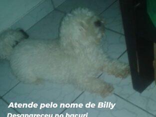 Poodle branco desaparecido