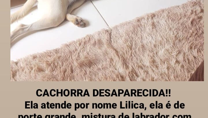 Cachorra labrador perdida