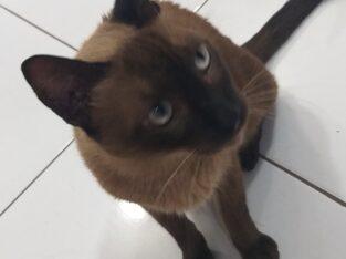 Gatinho siamês perdido castrado