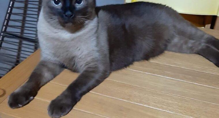 Gato Siamês Perdido – Pq. Do Buriti