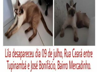 Gatinha siamês desaparecida