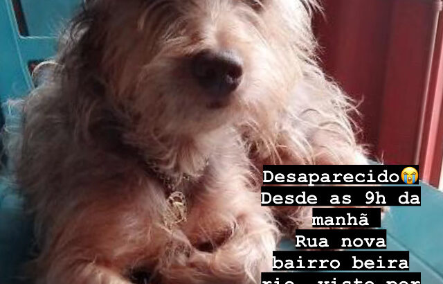 Cachorro perdido yorkshire