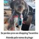 Cachorro (Poodle toy) sumiu perto do shopping Toca