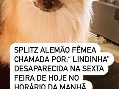 SPLITZ ALEMÃO FÊMEA