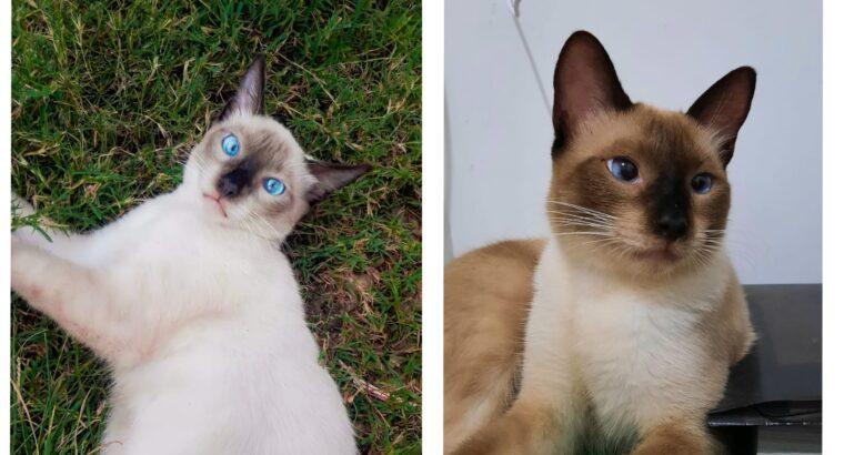 Gato siamês desaparecido Parque Alvorada II