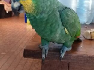 Papagaio perdido